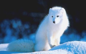 white-fox-wallpaper-5