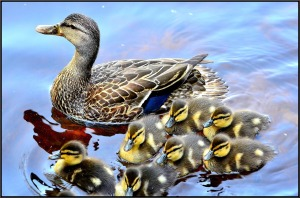 duck-715568_1280