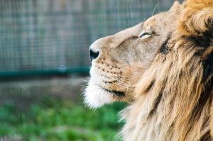 lion-721114_1280
